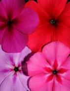 Variaciones de color en flores de la misma especie. Foto: SciTech News