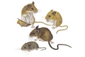 Peromyscus maniculatus. Pintura de Wendy Smith, de Kays y Wilson, Mammals of North America, © Princeton University Press (2002)