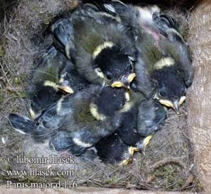 Pollos de Carbonero común. Foto: Josef Hlasek