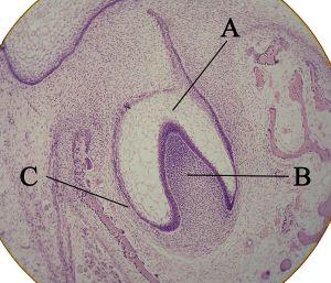 Micropreparación histológica mostrando un primordio dental: A: órgano del esmalte B: papila dental C: folículo dentario (Wikimedia Commons)