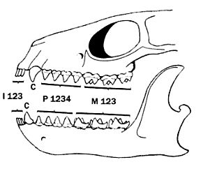 Mamífero hipotético ancestral (Le Gros Clark, 1971)