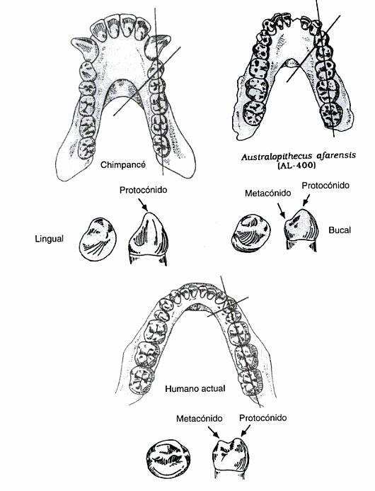 Dentición de chimpancé, Australopithecus afarensis y Homo sapiens (Klein, 1999)