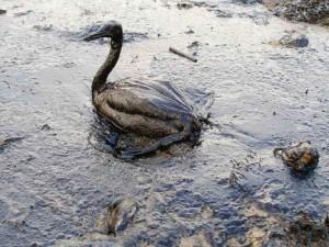 Pato tonto que no sabe que el agua de mar no puede estar contaminada