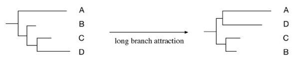 Error de las ramas largas: dos grupos de organismos (A y C) son erróneamente situados con una diferenciación en la base del árbol filogenético y con mayor relación que con el resto.