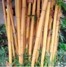 Bambú, mira tu...