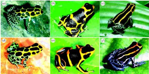 Aposematismo en ranas flecha venenosas. A-C: Dendrobates imitator, D: Dendrobates variabilis, E: Dendrobates fantasticus, F: Dendrobates ventrimaculatusDendrobates variabilis (Tarapoto), Dendrobates fantasticus (Huallaga Canyon) and `Dendrobates ventrimaculatus.  From: Fig. 1 in Rebecca Symula, Rainer Schulte & Kyle Summers (2001) Molecular phylogenetic evidence for a mimetic radiation in Peruvian poison frogs supports a Müllerian mimicry hypothesis. Proceedings of the Royal Society of London B 268: 2415-2421.  © The Royal Society.
