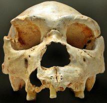 Cráneo número 5, de la Sima de los Huesos, Atapuerca, asignado a Homo heidelbergensis.