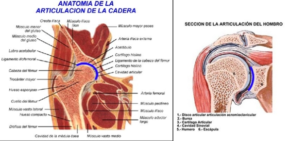Comparación de las superficies articulares en cadera (izquierda) y hombro (derecha)