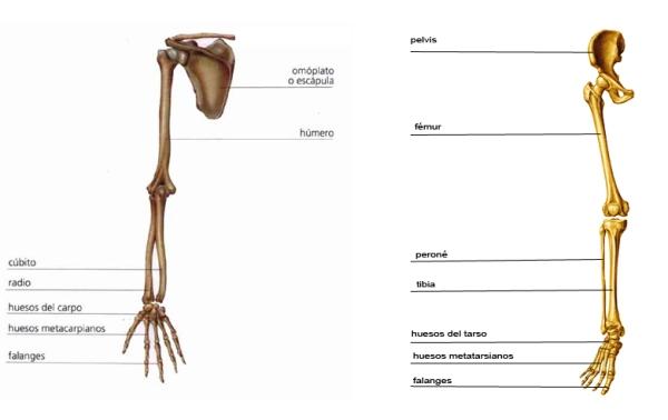 Equivalencia del esqueleto del miembro superior (izquierda) y miembro inferior (derecha)
