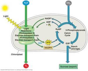 Esquema de la fotosíntesis