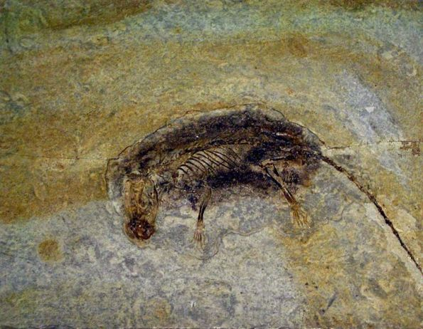 Eomaia scansoria. Fósil expuesto en el Museo de Ciencia de Hong Kong. Imagen: Wikimedia Commons