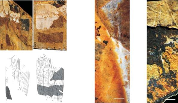 A. musicus sp.n. Fotografías y dibujos de la venación alar del holotipo. Las flechas rojas muestran la ubicación del órano estridulador.