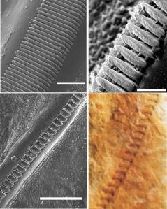 Morfología de la fila de dientes alares en tres especies de Ensifera, mostrando el método para medir la distancia entre ellos. A: Panacanthus pallicornis (Tettigoniidae), B: CDaedalellus nigrofastigium (Tetiigoniidae), D: Cyphoderris buckelli (Prophalangopsidae), E: A. musicus (Haglidae)..