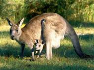 Canguro (Marsupial)