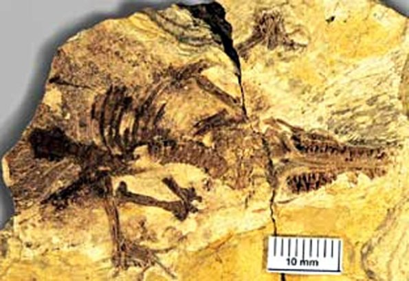 Juramaia sinensis. Imagen:  Zhe-Xi Luo.