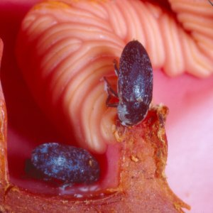 Hydnora africana. Créditos de la imagen: Sherwin Carlquist, Botanical Society of America