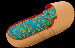 Mitocondria portando su propio ADN