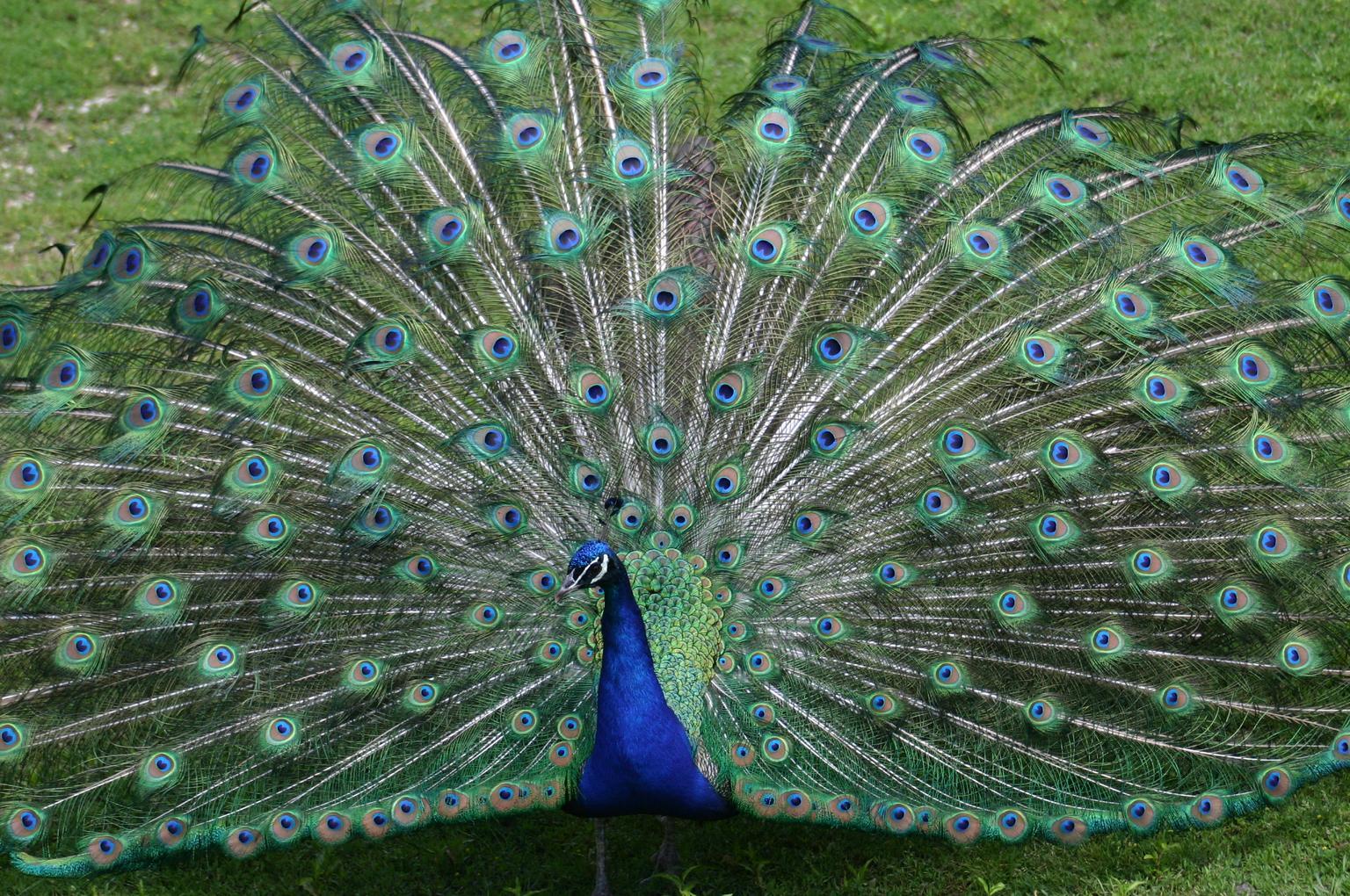 Hermosa Anatomía Del Pájaro Pavo Ideas - Anatomía de Las Imágenesdel ...