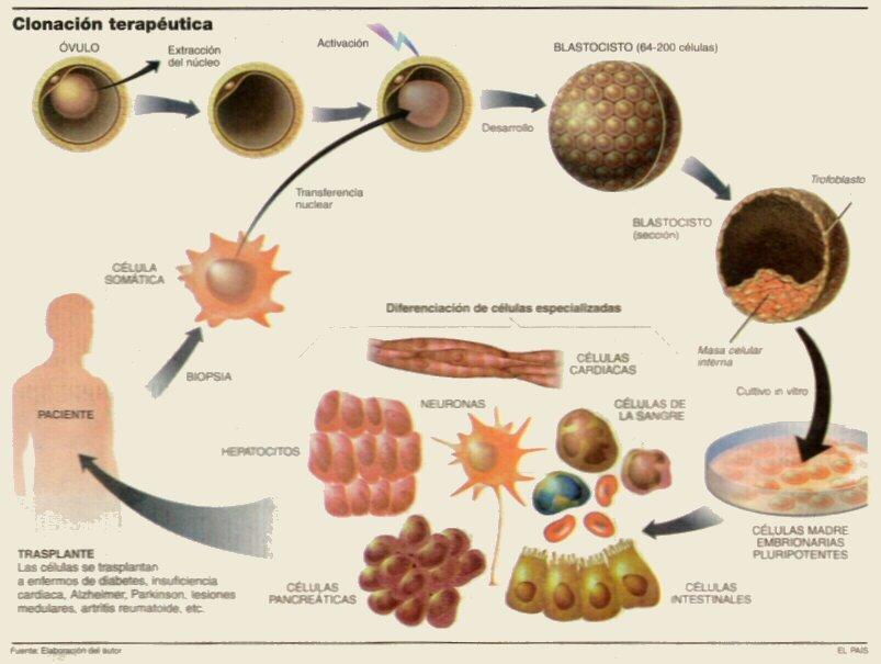 Muitas vezes Células Madre Embrionarias | Bio (Ciencia+Tecnología) QQ74