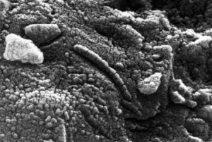 Estructuras (¿o microfósiles?) observadas en el meteorito ALH84001