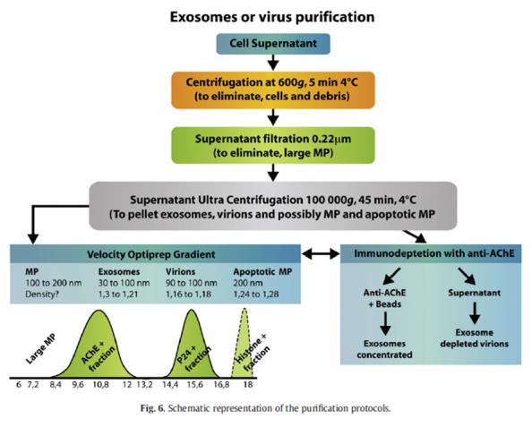 FIGURA 3: Protocolo de purificación de viriones de VIH. Fuente: Cartin y col., 2008