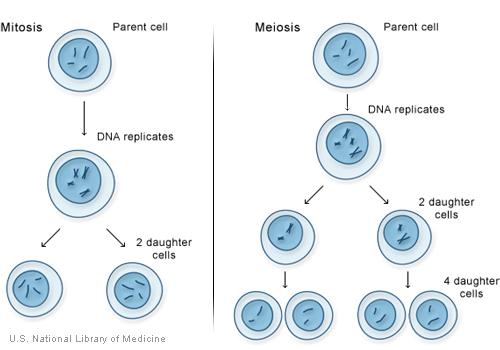 Reproduccion celular sexsual y asexual