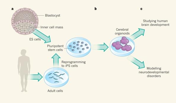 generacion de cerebro con celulas pluripotentes