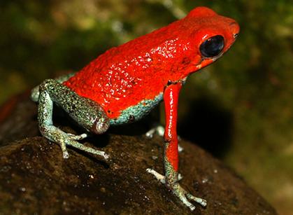 Especiación en ranas (7). Jugando con colores y toxinas | La Ciencia ...