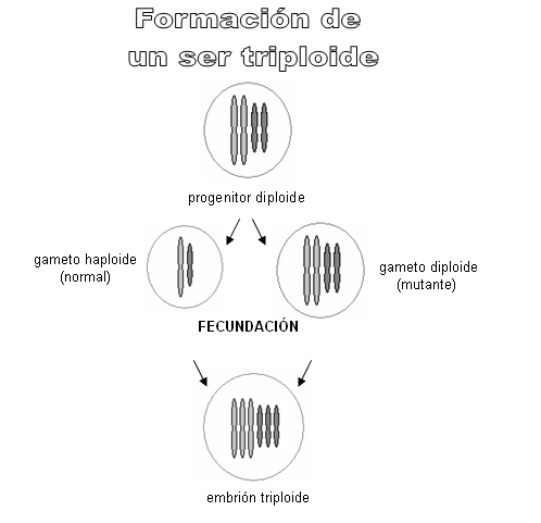 formación de un ser triploide