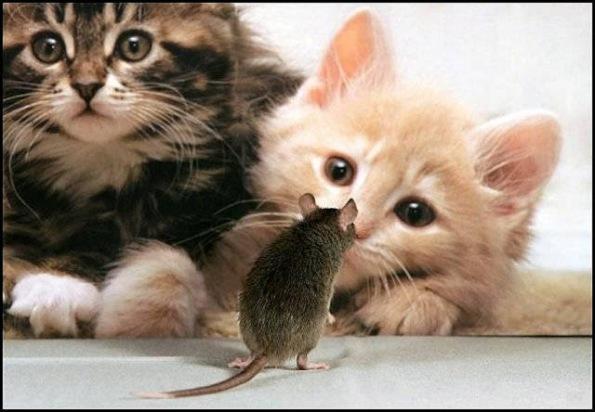 toxoplasma gondii gato raton rata infeccion toxoplasmosis diario de un ateo