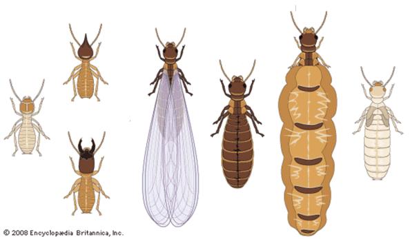 casta termita reina soldado obrera 1