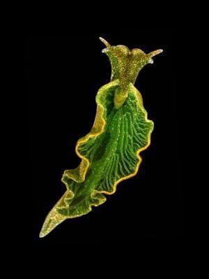 elysia_chlorotica babosa gusano fotosintesis