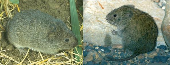 A la izquierda de la fotografía se encuentra el ratón de campo norteamericano (Microtus ochrogaster) y la derecha el ratón de monte (Microtus montanus) también norteamericano