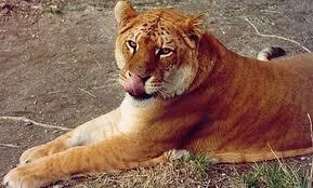 1 tigron