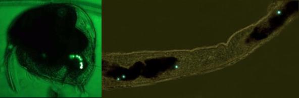 plancton contaminacion plastico microfuna