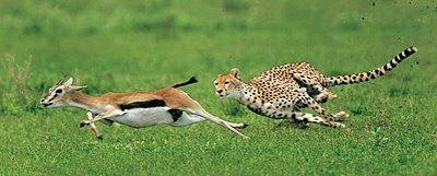 guepardo coevolucion gacelas