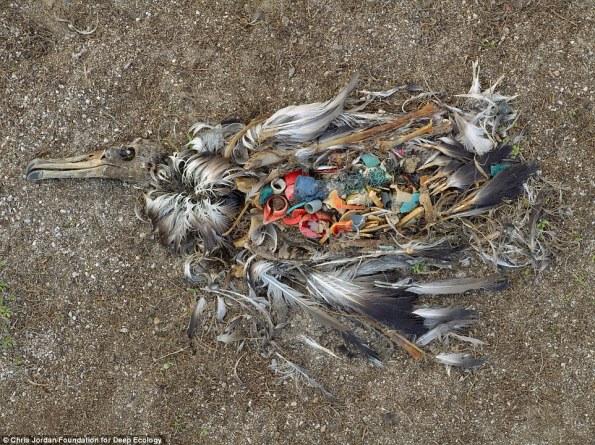 8 albatros muerto por ingerir demasiado plástico midway