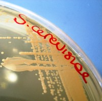Saccharomyces_cerevisiae