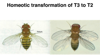bithorax wing fly
