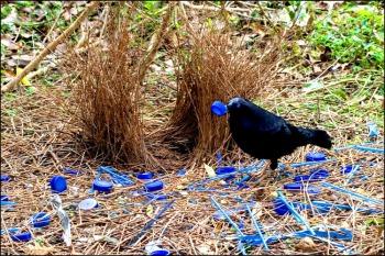 El jardinero ritual apareamiento ave
