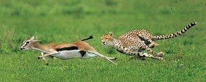 guepardo-coevolucion-gacelas