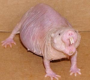 rata-desnuda-topo-animales-mascotas-tips-consejos-veterinaria-notcias