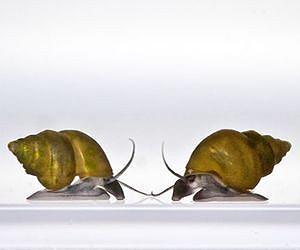 snail-potamopyrgus-antipodarum-lg