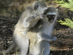 20-Vervet-Monkeys-AFPGet