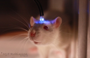 Optogenetic_Laser_Rat1