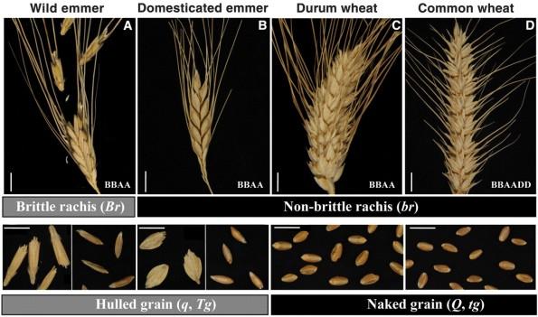 secencia-evolutiva-de-nuestro-trigo-moderno-grande