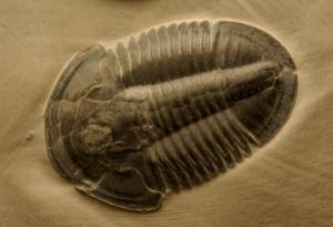 trilobites marciano