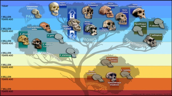 "Tree of humankind with skulls representing the different species, including the newest addition ""Homo Naledi"" added to the ""Homo"" branch of the tree. This illustration was created for an article about paleoanthropologist John Hawks, a leader of the Rising Star Expedition that discovered Homo Naledi, this new species of hominid, whose partial skull has been added to the hominid tree here. Homo Naledi existed in South Africa. Timeline: hundreds of thousands to millions of years ago (at time of this illustration, this was the current time span known)."
