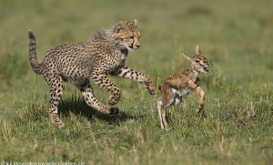 4with-selection-Cheetah-cub-chasing-Thomsons-Gazelle-fawn-Masai-Mara-Kenya_P3I7943-J