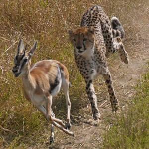 gacela guepardo